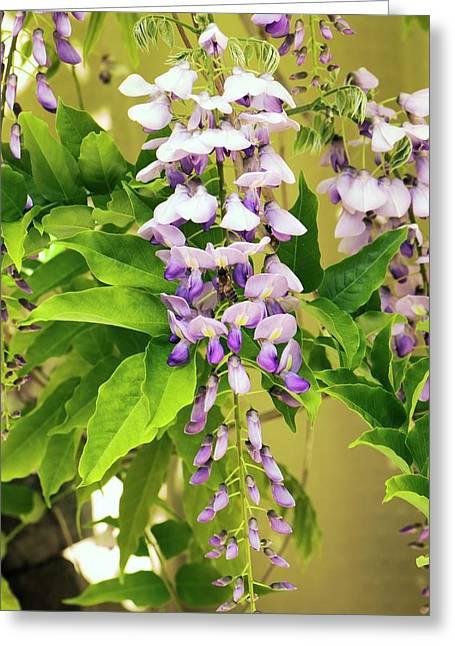Japanese Wisteria (wisteria Floribunda) Greeting Card by Adrian Thomas