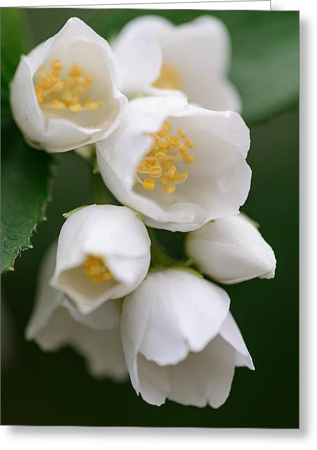 Jasmin Flowers Greeting Card