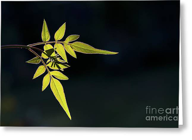 Jasmine Leaves  Greeting Card by Tim Gainey