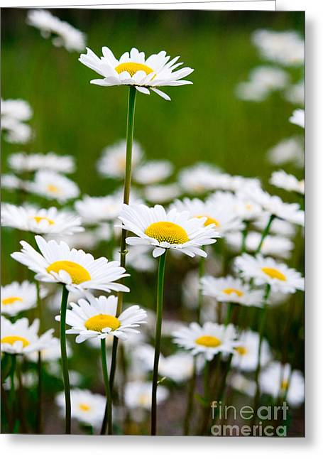Jasper - Oxeye Daisy Wildflower 2 Greeting Card