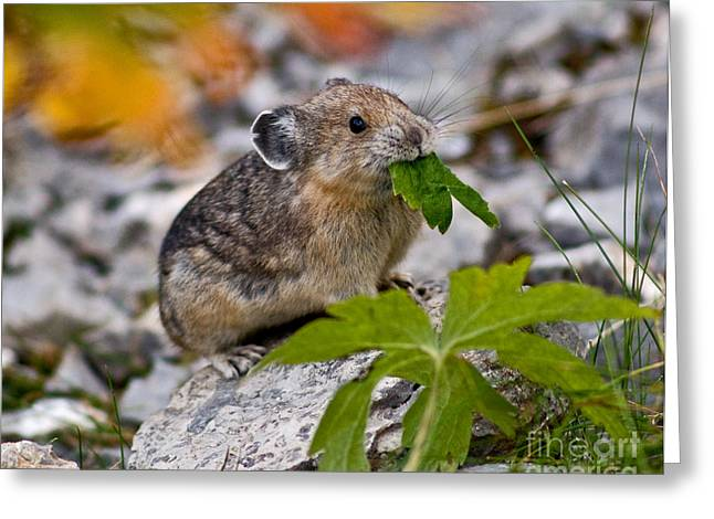 Jasper - Pika Greeting Card