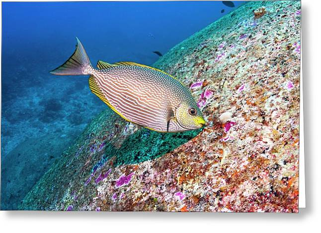 Java Rabbitfish Grazing On Algae Greeting Card by Georgette Douwma/science Photo Library