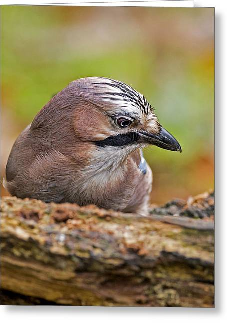 Jay Headstudy  Greeting Card by Paul Scoullar