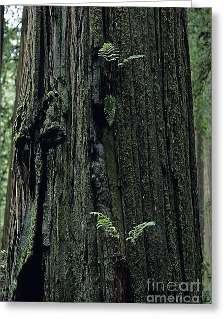 Jedediah Smith Redwoods Greeting Card by Jim Corwin