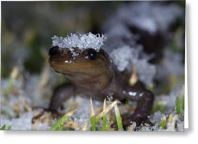 Jefferson Salamander Greeting Card by Brian Magnier