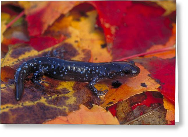 Jefferson Salamander Greeting Card by Paul J. Fusco
