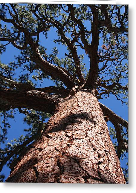 Jeffrey Pine Greeting Card
