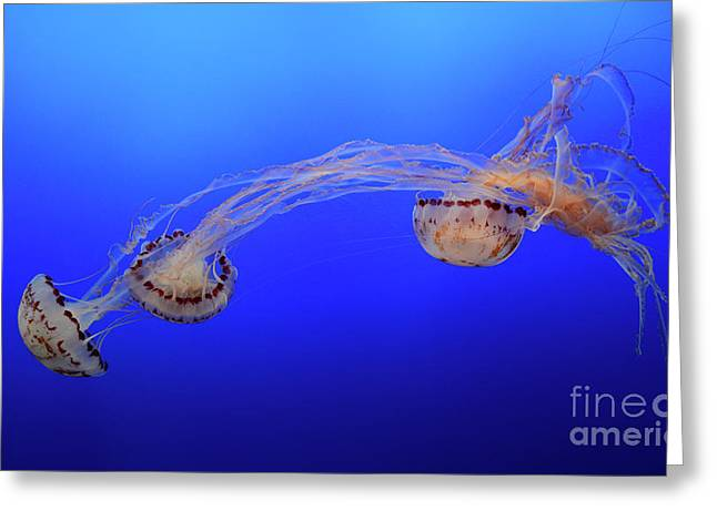 Jellyfish 7 Greeting Card by Bob Christopher