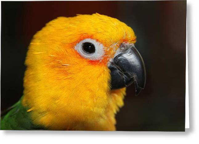 Jenday Conure Portrait Greeting Card by Andrea Lazar