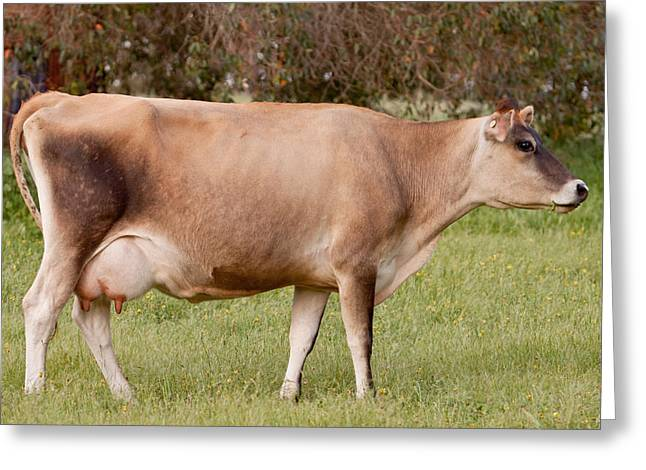 Jersey Cow In Pasture Greeting Card by Michelle Wrighton
