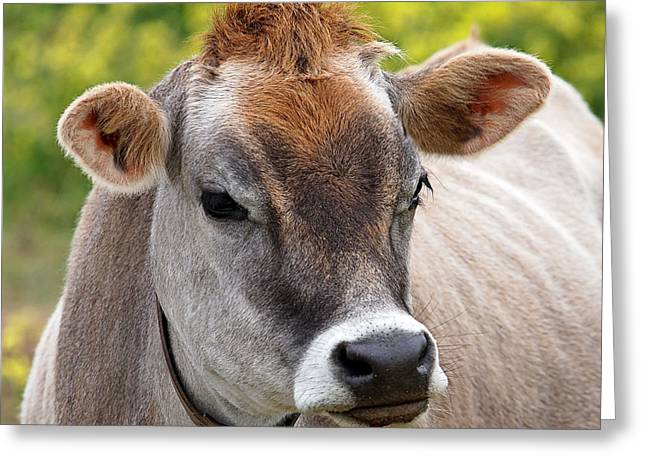 Jersey Cow With Attitude - Square Greeting Card by Gill Billington