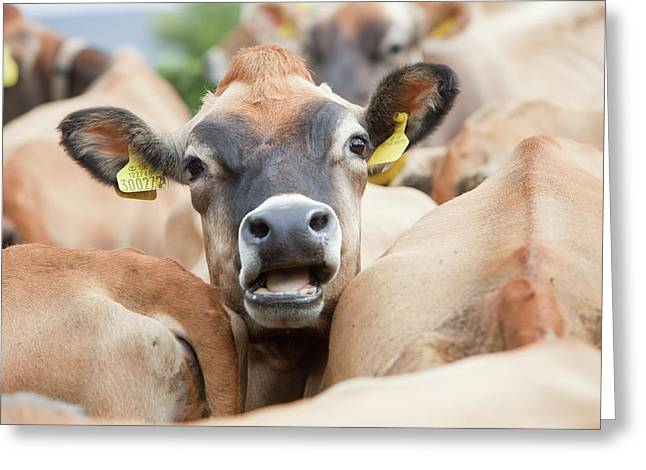 Jersey Cows On A Farm Greeting Card by Ashley Cooper