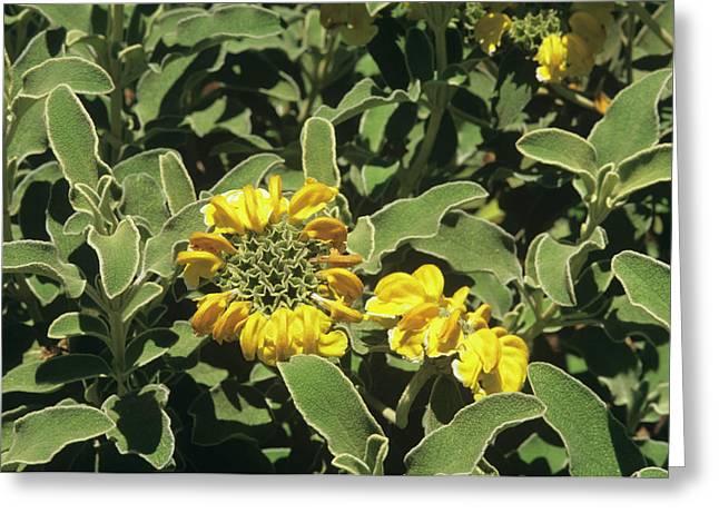 Jerusalem Sage (phlomis Fruticosa) Greeting Card by Sally Mccrae Kuyper/science Photo Library