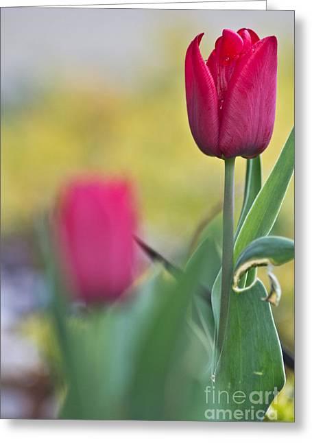 Jerusalem Tulip 1 Photograph By Joel Loftus