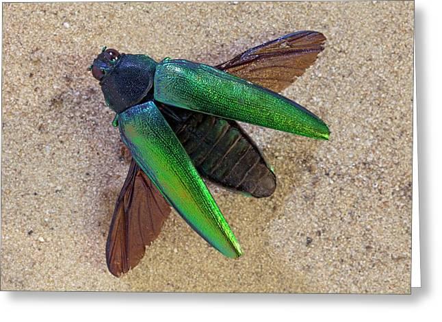 Jewel Beetle Greeting Card