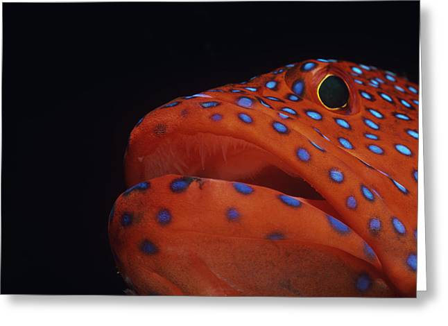 Jeweled Grouper Face Greeting Card by Jeff Rotman