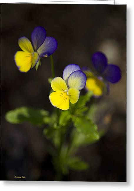Johnny Jump Up - Viola Tricolor Wildflowers Greeting Card by Christina Rollo