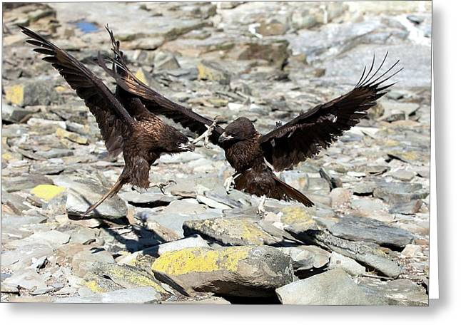Johnny Rooks Fighting Striated Caracara Greeting Card by Paul D Stewart