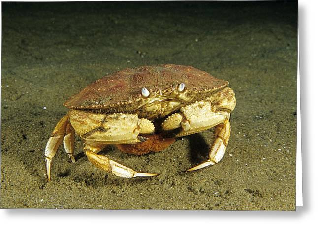 Jonah Crab Greeting Card by Andrew J. Martinez