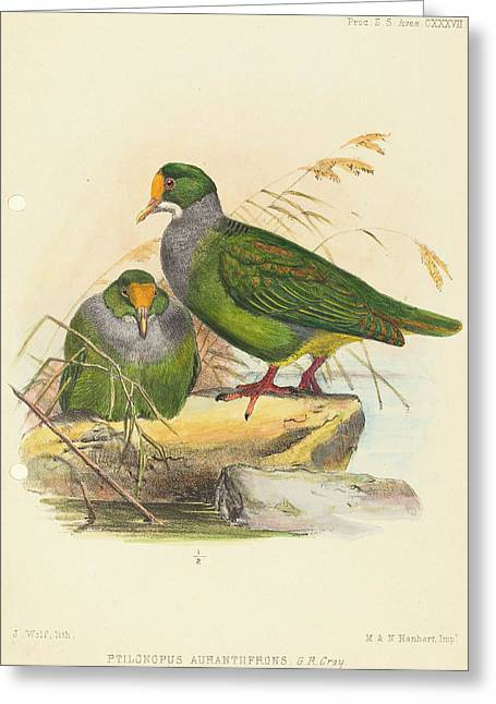 Joseph Wolf British, 1820 - 1899, Two Birds Ptilonopus Greeting Card