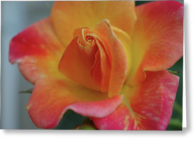 Joseph's Coat Climbing Rose Greeting Card by Robyn Stacey