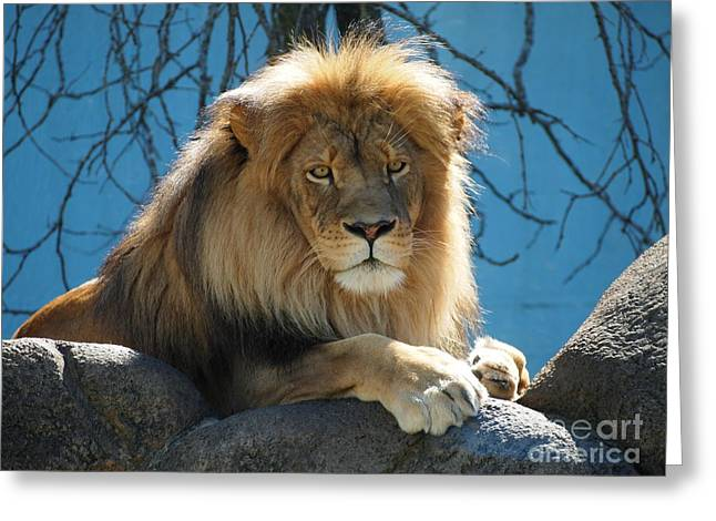 Joshua The Lion On His Rock Greeting Card by Jennifer Craft