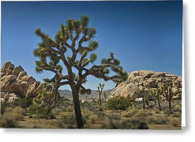 Joshua Tree In Joshua Tree National Park No. 340 Greeting Card by Randall Nyhof