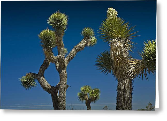 Joshua Tree Branches Against The Sky Greeting Card by Randall Nyhof