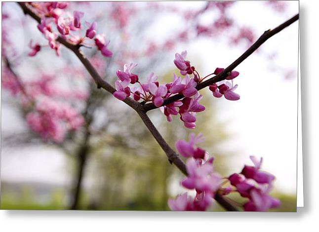 Judas Tree Blossom Greeting Card by John Holloway