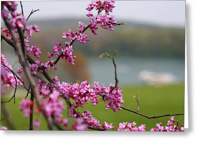 Judas Tree Greeting Card by John Holloway