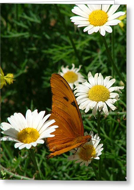 Julia Butterfly And White Daisies - 108 Greeting Card
