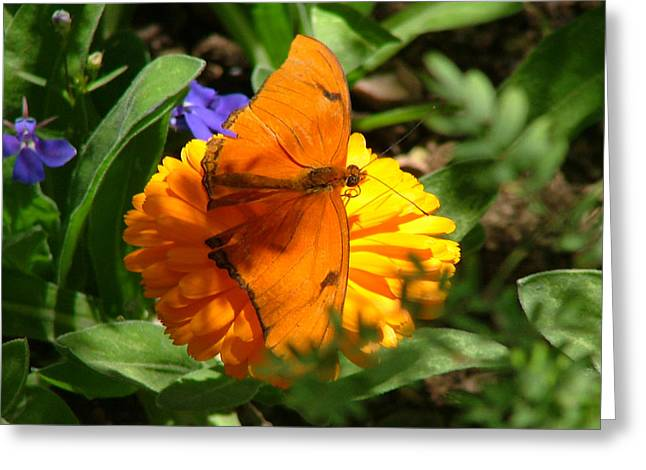 Julia Butterfly On Orange Flower - 107 Greeting Card
