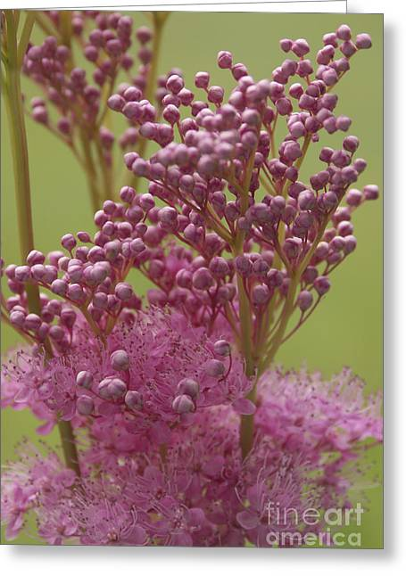 July Astilbe Greeting Card by Patrick Fennell