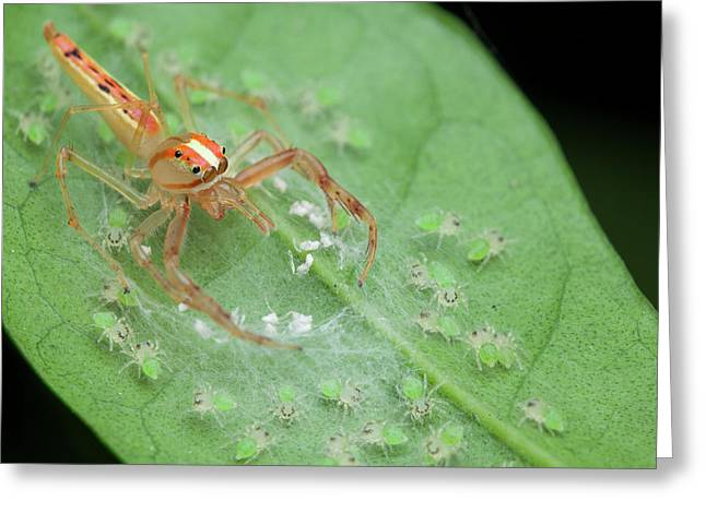 Jumping Spider And Babies Greeting Card by Melvyn Yeo