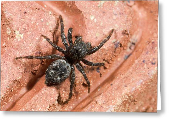 Jumping Spider Greeting Card by Nigel Downer