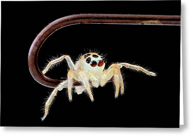 Jumping Spider On A Fish Hook Greeting Card