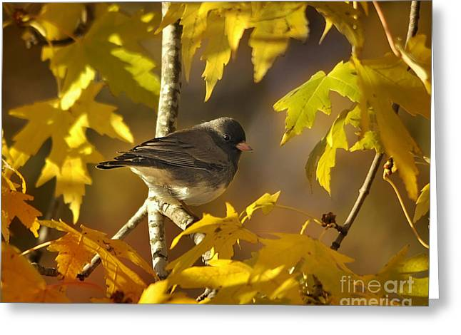 Junco In Morning Light Greeting Card by Nava Thompson
