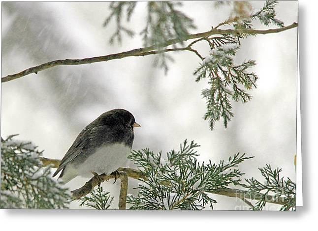 Junco In Snowstorm Greeting Card by Paula Guttilla