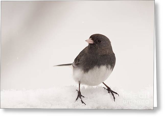 Junco In The Snow Greeting Card