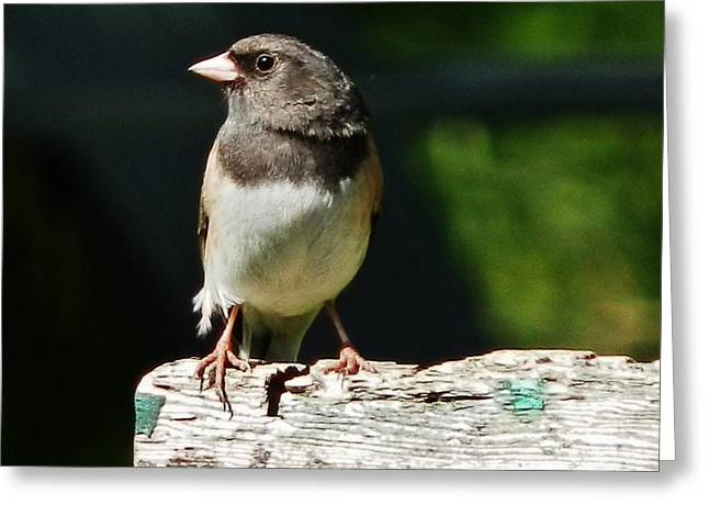 Junco Simplicity Greeting Card by VLee Watson