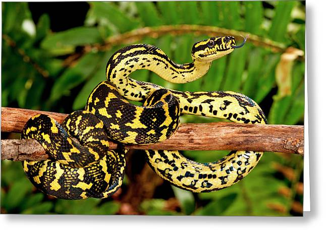 Jungle Carpet Python, Morelia Spilotes Greeting Card
