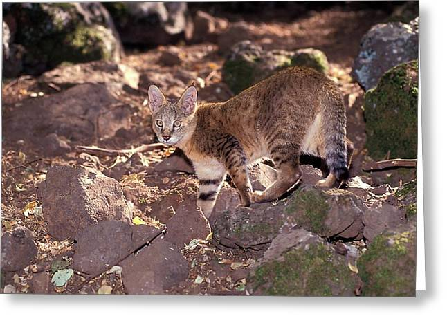 Jungle Cat (felis Chaus Greeting Card by Photostock-israel