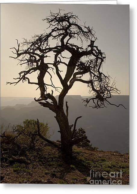 Juniper Tree At Grand Canyon Greeting Card by David Gordon