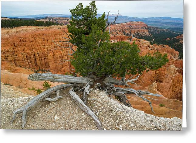 Juniper Tree Clings To The Canyon Edge Greeting Card