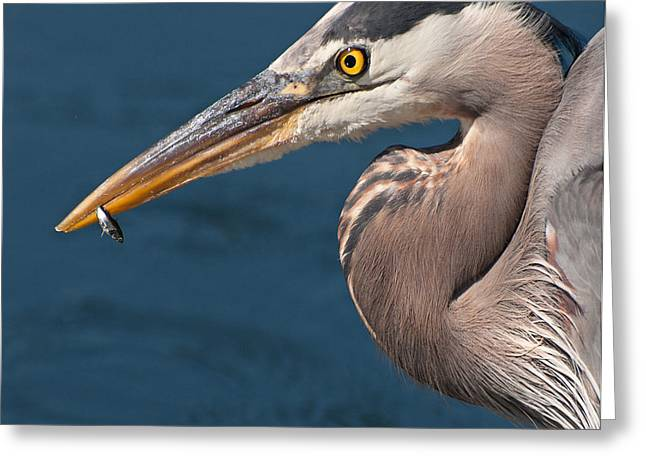 Just An Appetizer For A Great Blue Heron Greeting Card by Kasandra Sproson