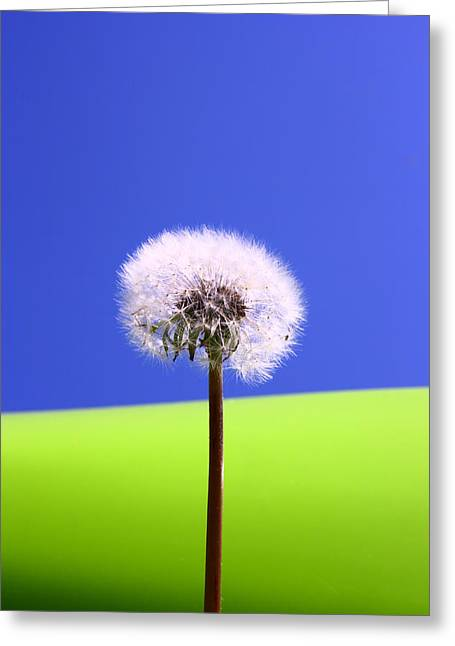 Greeting Card featuring the photograph Just Dandy by Paula Brown