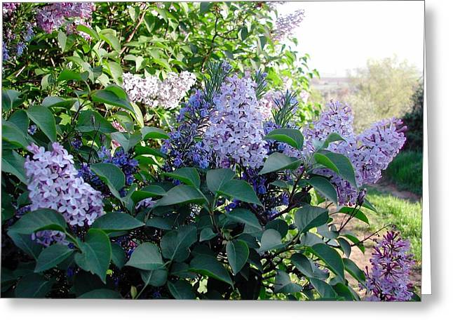 Just Lilac Greeting Card by Dorothy Berry-Lound