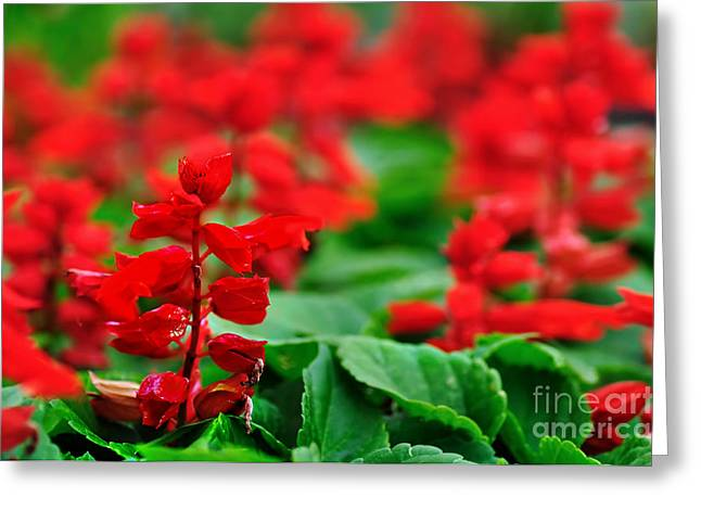 Just Red Greeting Card by Kaye Menner