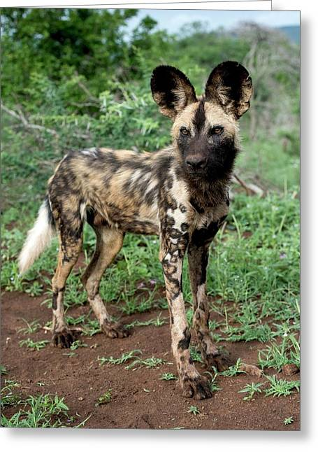 Juvenile African Hunting Dog Greeting Card by Tony Camacho/science Photo Library