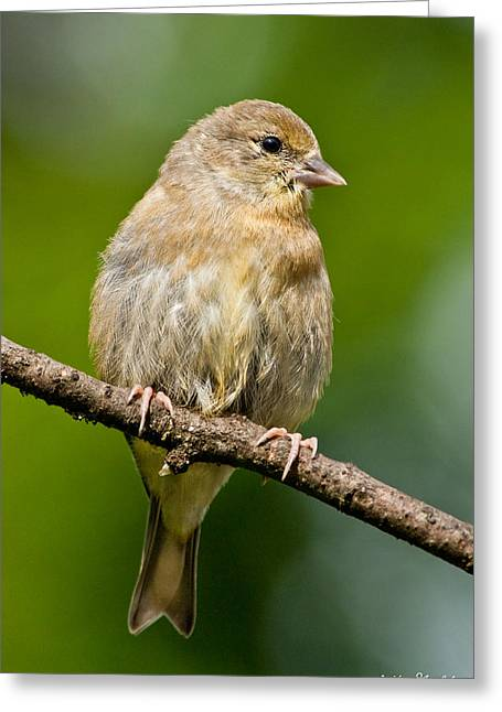 Juvenile American Goldfinch Greeting Card